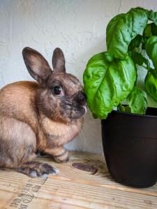 Rabbit and basil plant on shelf
