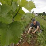 Matt Cassavaugh, Head Winemaker in the Vineyard