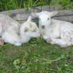 casa-rural-granja-corderos