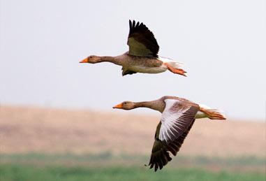 Ruta ornitológica de los ánsares en Ávila