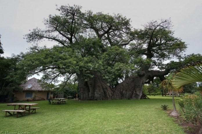 Ένας ολόκληρο μπαρ μέσα στην κουφάλα ενός γιγάντιου Δέντρου.