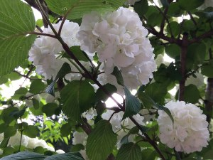 Viburnum plicatum is better known as the Japanese snowball.