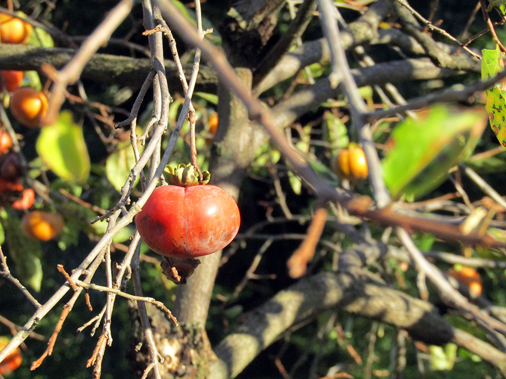 A sure sign of fall; persimmons growing in Ogawa, Saitama