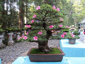 Several wonderful examples of bonsai trees were on display inside Tōshō-gū Shrine