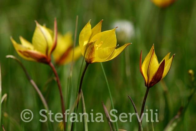 tulipa australis piano