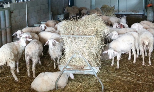 Stalla pecore