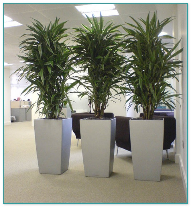 Tall Indoor Plants Sale