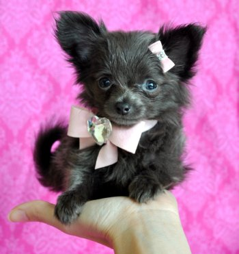 teacup puppies for sale florida puppies for sale tampa puppies for sale orlando teacup