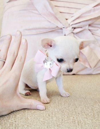 Micro Teacup White Chihuahua Princess 10 Oz At 9 Weeks