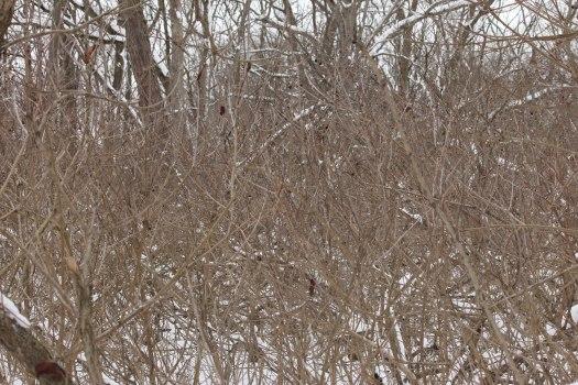 Buttonbush swamp (Cephalanthus occidentalis)