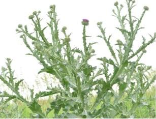 Onopordon faux-acanthe ou chardon lorrain (Onopordum acanthium).