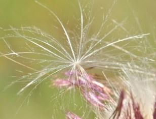 Chardon vulgaire ou chardon à feuilles lancéolées (Cirsium lanceolatum).