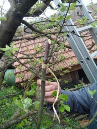 societe_horticulture_de_rive_de_gier_greffe_6