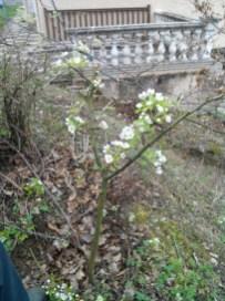 societe_horticulture_de_rive_de_gier_mise_en forme_poirier_3
