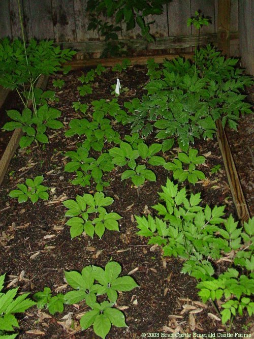 Image Result For How To Grow Ginseng In The Woods