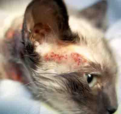 Cat Allergy Symptoms Pictures Causes Descriptions And