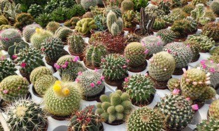 Oferta de Enero: ¡Cactus variados en maceta de 8.5 cm. de diámetro a 1.50 euros!