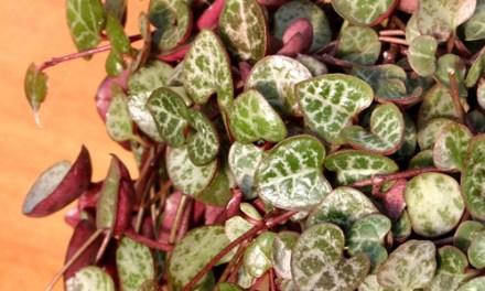 Ceropegia woodii – El Collar de Corazones