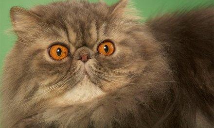 Razas de gatos: el gato Persa.