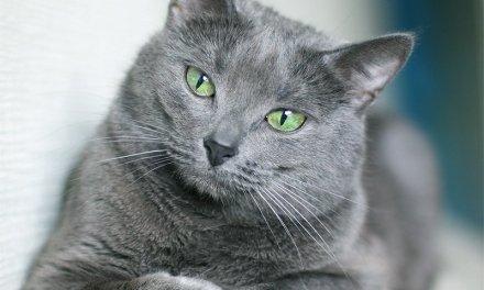 Razas de gatos: Azul Ruso.