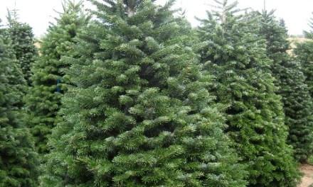 Ya tenemos a la venta los Árboles de Navidad.