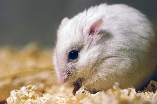 hamster-siberiano