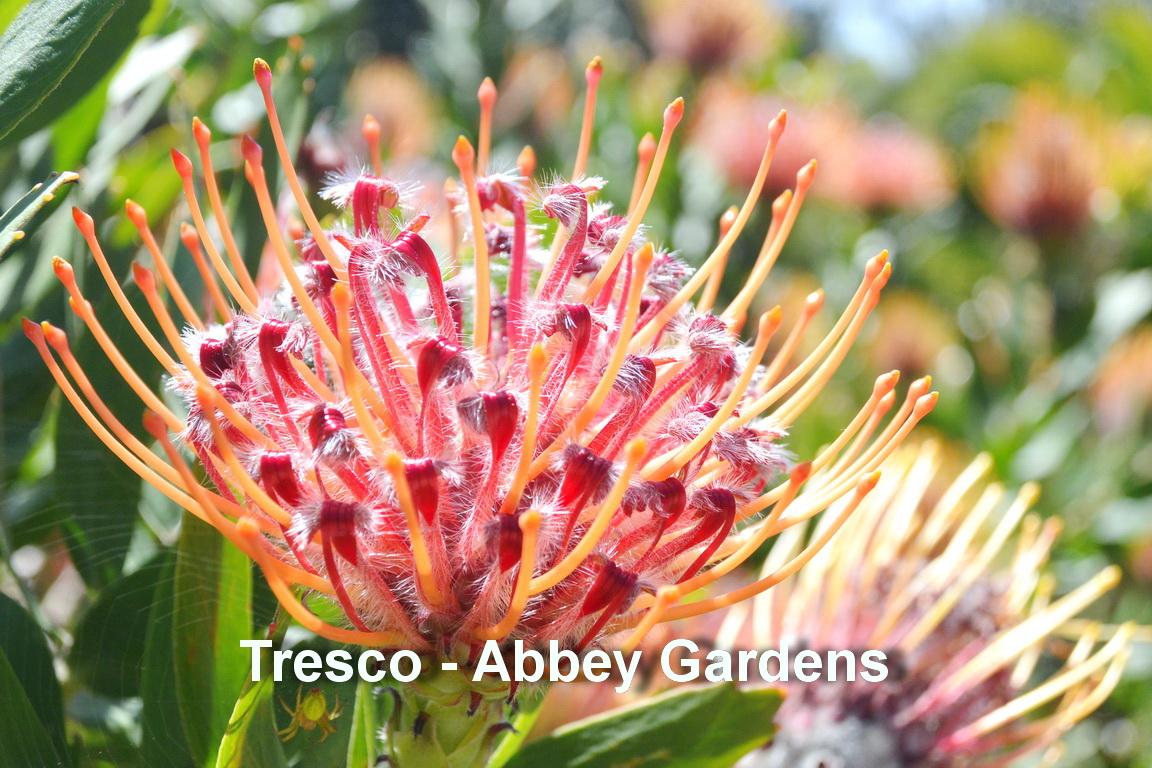 Tresco - Abbey gardens6