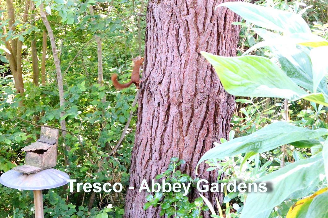 Tresco - Eekhoorn3