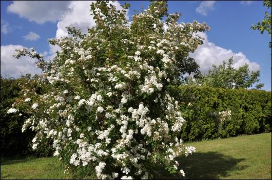 Spireane blomstre