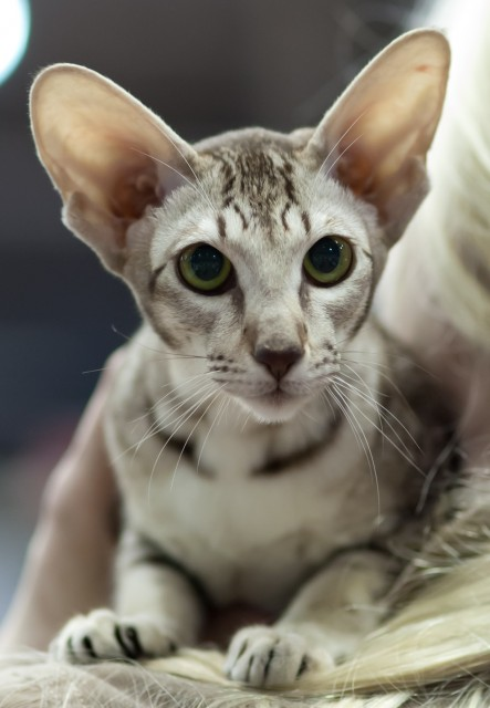 Oriental Shorthair Info History Personality Kittens