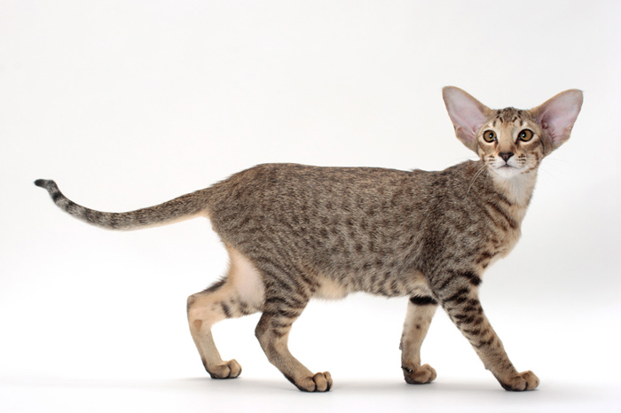 Image Result For Oriental Shorthair Hypoallergenic Cats