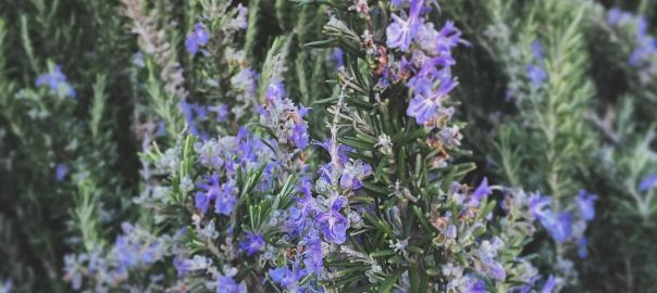 Roadside rosemary