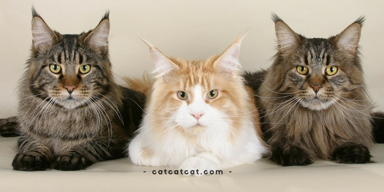 A List of the Best Maine Coon Cat Names