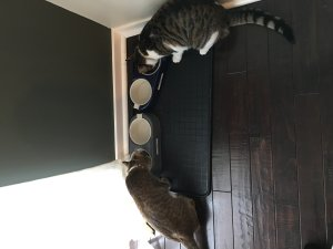 How Much Wet Food to Feed a Kitten Per Day?