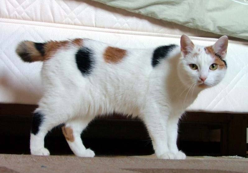 Japanese_Bobtail_looking_like_Manx