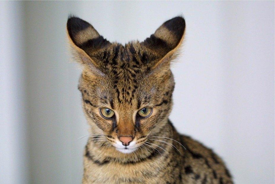 Savannah Cat Big Ears