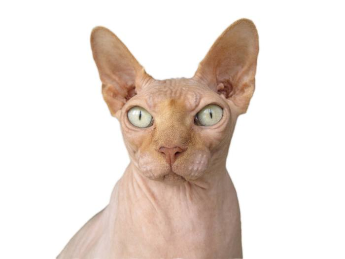 Sphynx CATS WITH BIG EARS