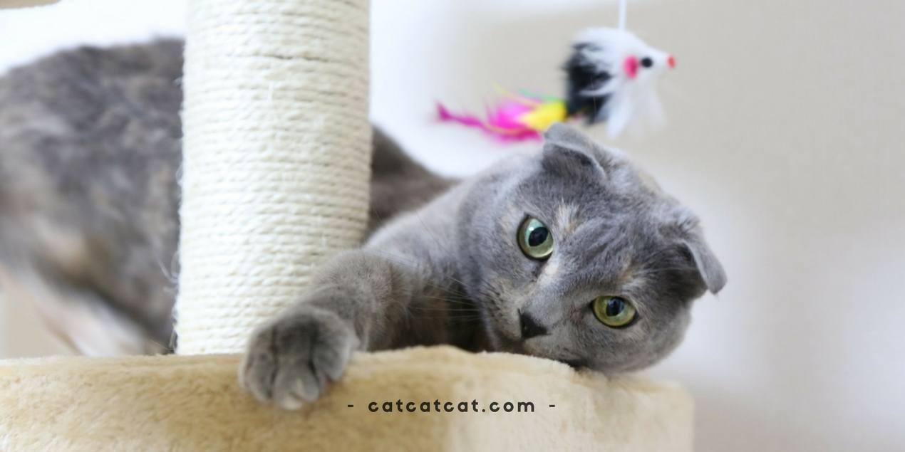 The Magnificent Scottish Fold Personality