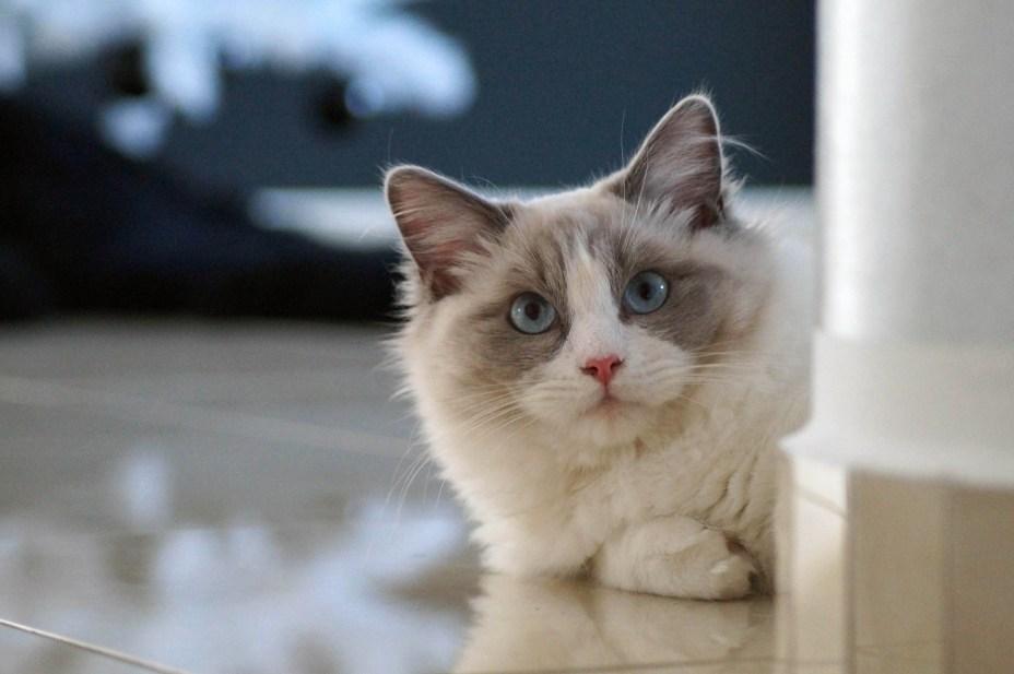 ragdoll LONG HAIR CAT BREEDS