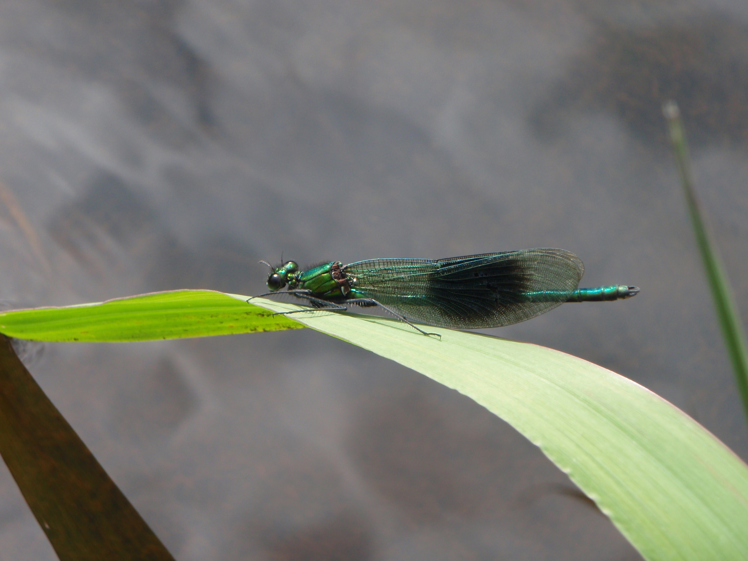 Damselfly - Calopteryx Splendens - Banded Demoiselle Photo: Catherine Bradley