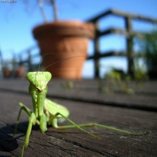 Praying mantis (Hierodula patellifera) Macro shot with wide-angle.