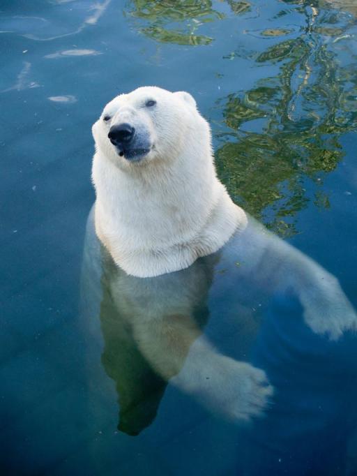 Polar Bear, St. Petersburg