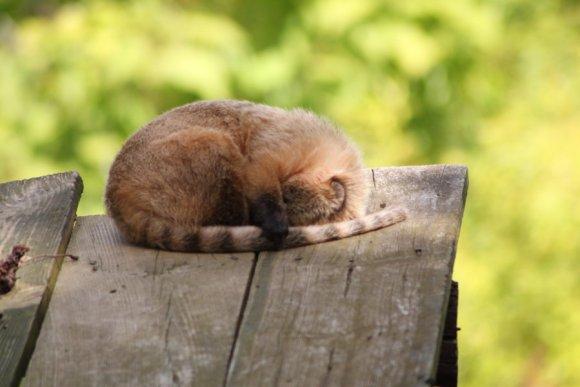 Sleeping coati