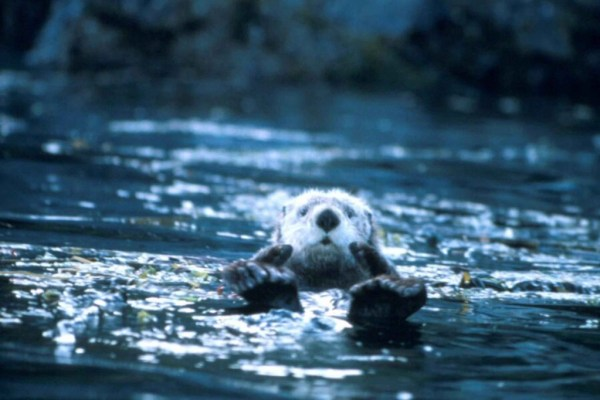 cute sea otter