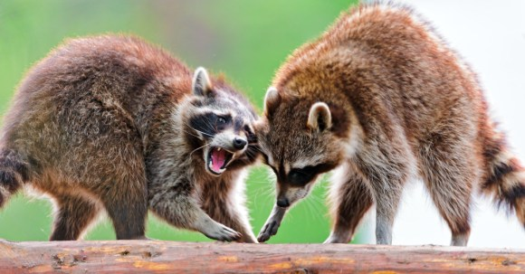 two raccoons fighting