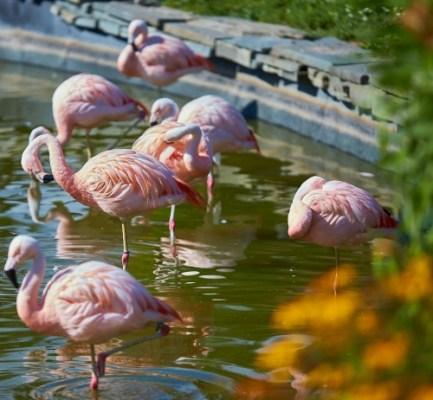 Syracuse Zoo Flamingoes