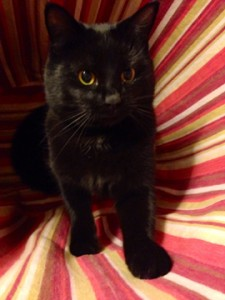Cat Finders Blog Archive Reunited Black Short Haired