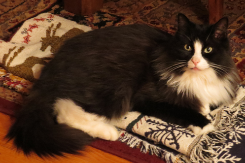Image result for long haired tuxedo cat