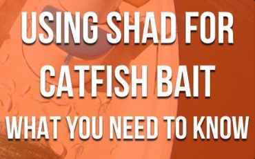 Shad For Catfish Bait Essentials