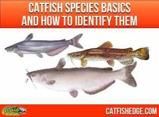 Catfish Species Basics